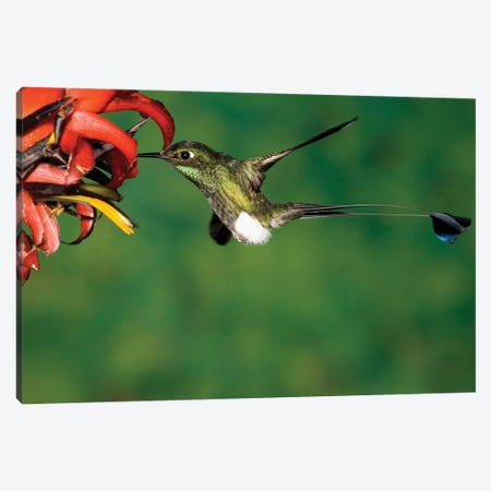 Booted Racket-Tail Hummingbird Male Feeding At Flower, Western Slope Of Andes, Ecuador Canvas Print #VZO4} by Tom Vezo Canvas Wall Art