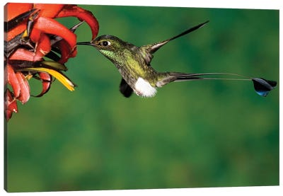 Booted Racket-Tail Hummingbird Male Feeding At Flower, Western Slope Of Andes, Ecuador Canvas Art Print