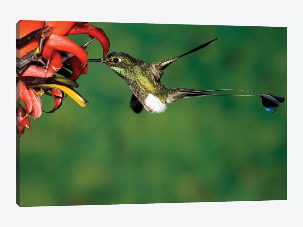 Booted Racket-Tail Hummingbird Male Feeding At Flower, Western Slope Of Andes, Ecuador by Tom Vezo 1-piece Art Print