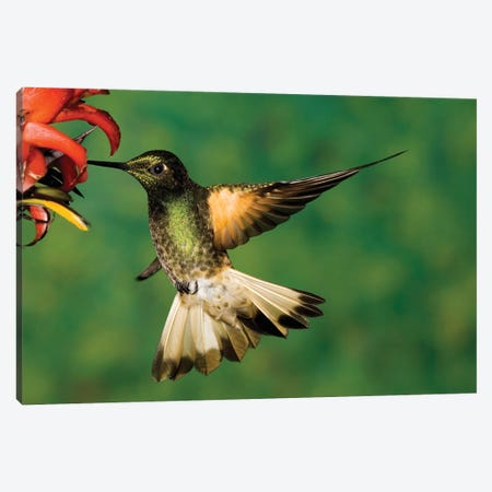 Buff-Tailed Coronet Hummingbird Feeding On Flower, Andes, Ecuador I Canvas Print #VZO5} by Tom Vezo Canvas Art