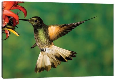 Buff-Tailed Coronet Hummingbird Feeding On Flower, Andes, Ecuador I Canvas Art Print