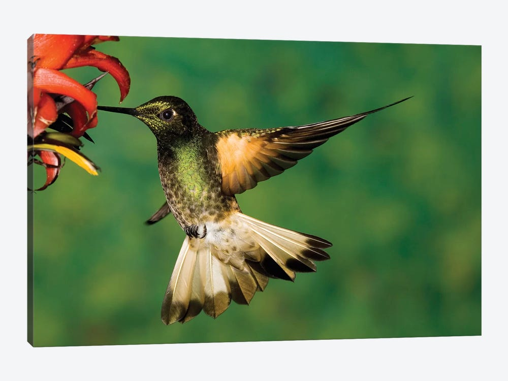Buff-Tailed Coronet Hummingbird Feeding On Flower, Andes, Ecuador I by Tom Vezo 1-piece Canvas Art