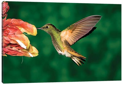Buff-Tailed Coronet Hummingbird Feeding On Flower, Andes, Ecuador II Canvas Art Print