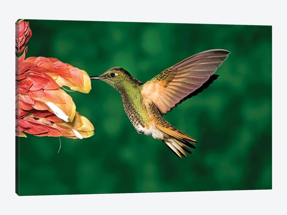 Buff-Tailed Coronet Hummingbird Feeding On Flower, Andes, Ecuador II by Tom Vezo 1-piece Canvas Print