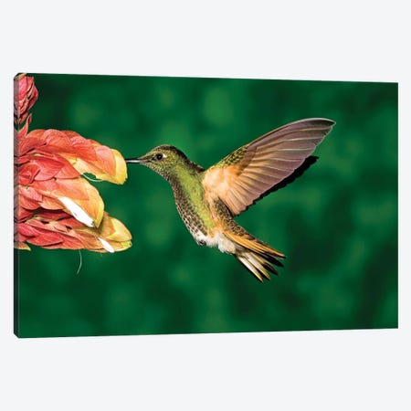 Buff-Tailed Coronet Hummingbird Feeding On Flower, Andes, Ecuador II Canvas Print #VZO6} by Tom Vezo Canvas Wall Art