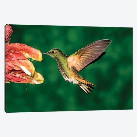Buff-Tailed Coronet Hummingbird Feeding On Flower, Andes, Ecuador II Canvas Print #VZO6} by Tom Vezo Canvas Wall Art