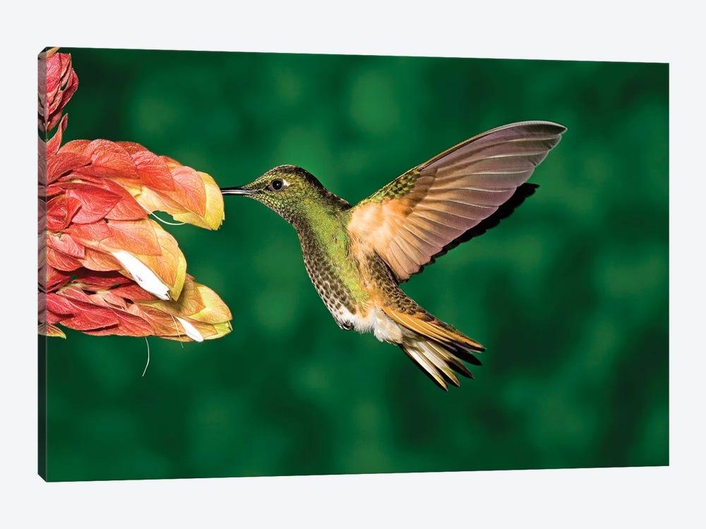 Buff-Tailed Coronet Hummingbird Feeding On Flower, Andes, Ecuador II by Tom Vezo 1-piece Canvas Print