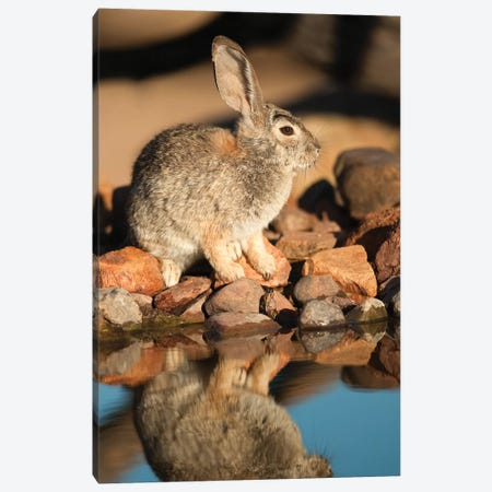 Desert Cottontail At Waterhole, Santa Rita Mountains, Arizona Canvas Print #VZO7} by Tom Vezo Canvas Wall Art