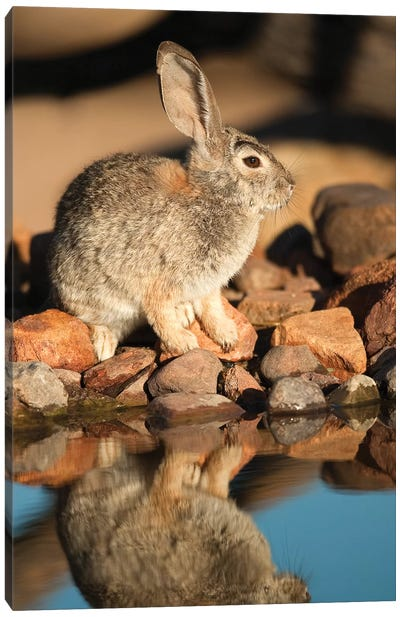 Desert Cottontail At Waterhole, Santa Rita Mountains, Arizona Canvas Art Print