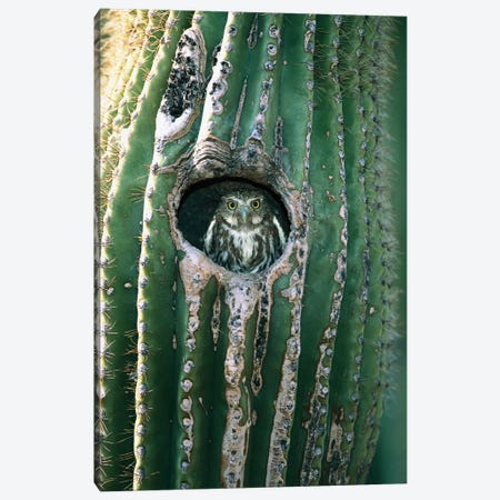 Ferruginous Pygmy Owl Adult Peering Out From Nest Hole In Saguaro Cactus, Altar Valley, Arizona Canvas Print #VZO9} by Tom Vezo Canvas Art Print