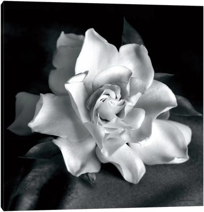 Gardenia Canvas Art Print
