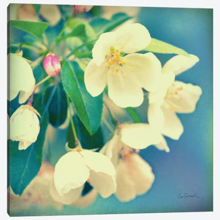 Natures Apple Blossom  Canvas Print #WAC1845} by Sue Schlabach Canvas Wall Art