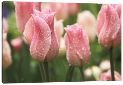 Tulips after the Rain Canvas Art Print