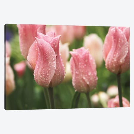 Tulips after the Rain Canvas Print #WAC2275} by Laura Marshall Canvas Art Print