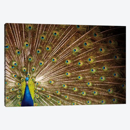Proud as Peacocks I Canvas Print #WAC2276} by Laura Marshall Art Print