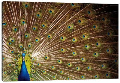 Proud as Peacocks I Canvas Art Print