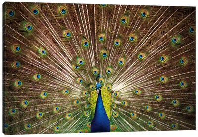 Proud as Peacocks II Canvas Art Print