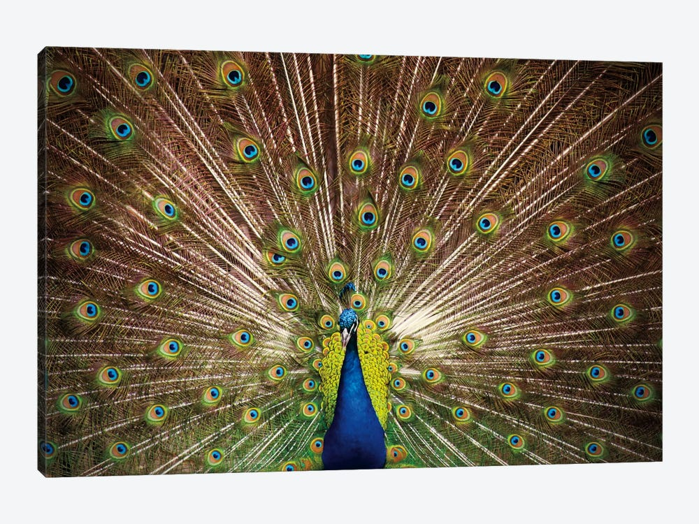 Proud as Peacocks II by Laura Marshall 1-piece Canvas Print
