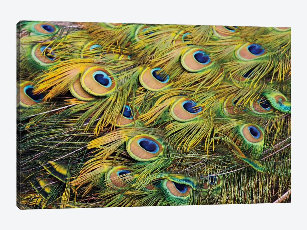 Proud as Peacocks III by Laura Marshall 1-piece Canvas Artwork