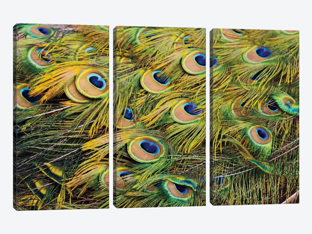 Proud as Peacocks III by Laura Marshall 3-piece Canvas Artwork