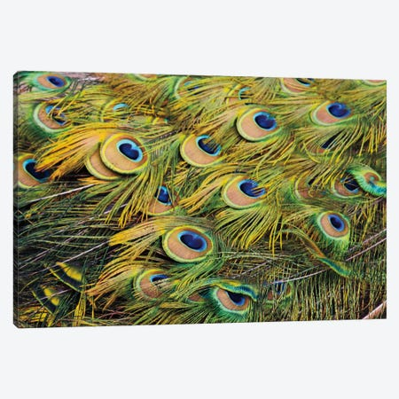 Proud as Peacocks III Canvas Print #WAC2278} by Laura Marshall Canvas Art