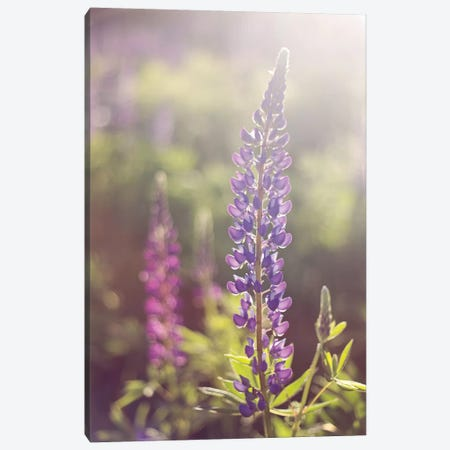 Lupine Flare Canvas Print #WAC2490} by Katherine Gendreau Canvas Art