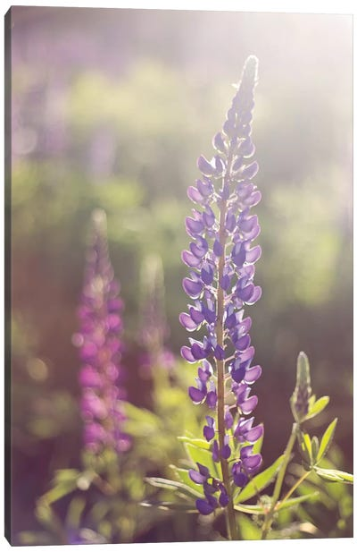 Lupine Flare Canvas Art Print