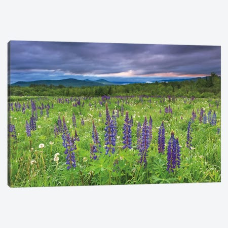 Lupine Sunrise Canvas Print #WAC2491} by Katherine Gendreau Canvas Art