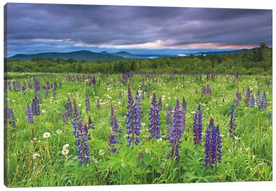 Lupine Sunrise Canvas Art Print