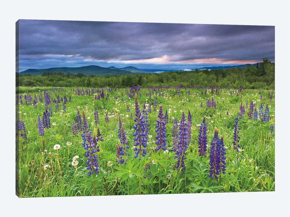 Lupine Sunrise by Katherine Gendreau 1-piece Canvas Art Print