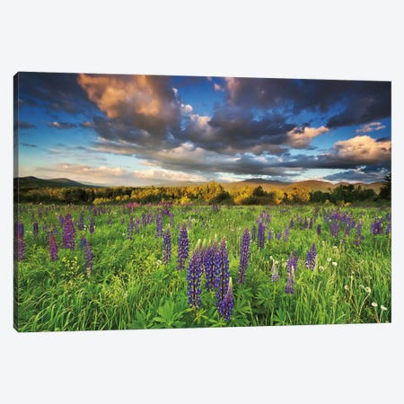 Lupine Sunset Canvas Print #WAC2492} by Katherine Gendreau Canvas Art