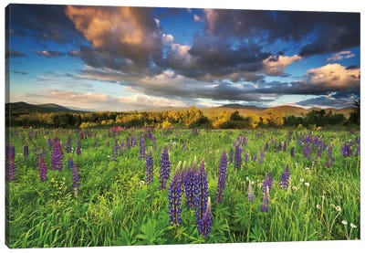 Lupine Sunset Canvas Art Print