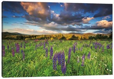Lupine Sunset Canvas Art Print