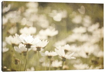 Daisies I Canvas Art Print