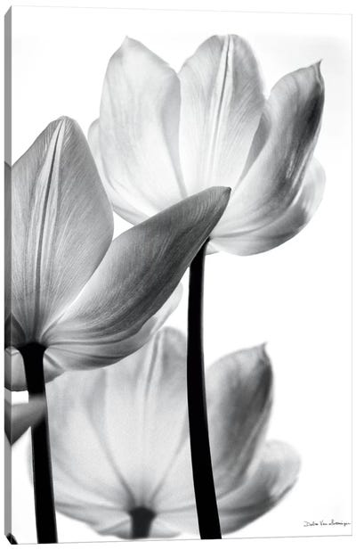 Translucent Tulips III Canvas Art Print