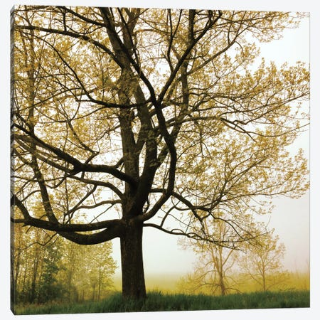 Morning Tree Canvas Print #WAC3953} by Sue Schlabach Canvas Art