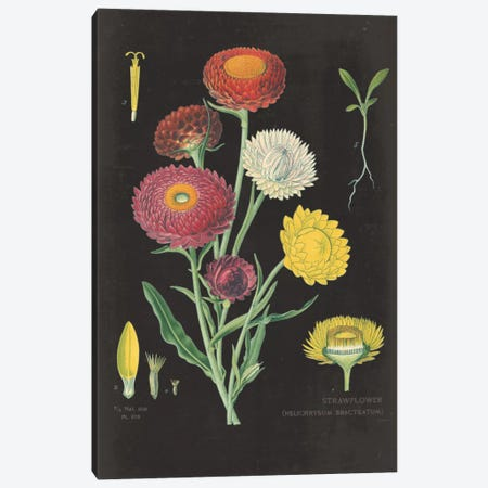 Strawflower Chart Canvas Print #WAC3961} by Sue Schlabach Art Print