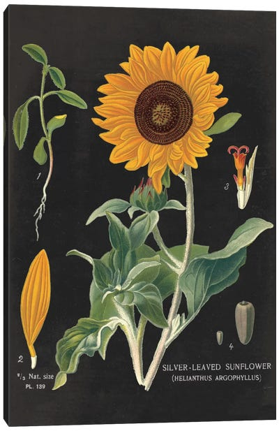 Sunflower Chart Canvas Print #WAC3962