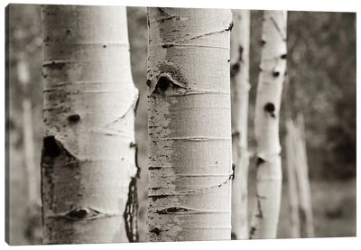 Aspens III Canvas Art Print