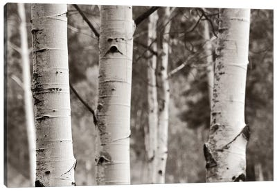 Aspens IV Canvas Art Print