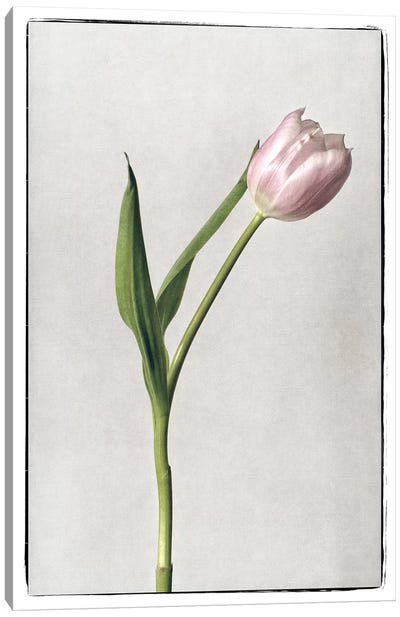 Light Tulips II Canvas Art Print