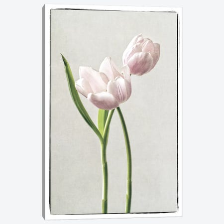 Light Tulips III Canvas Print #WAC4416} by Debra Van Swearingen Canvas Print