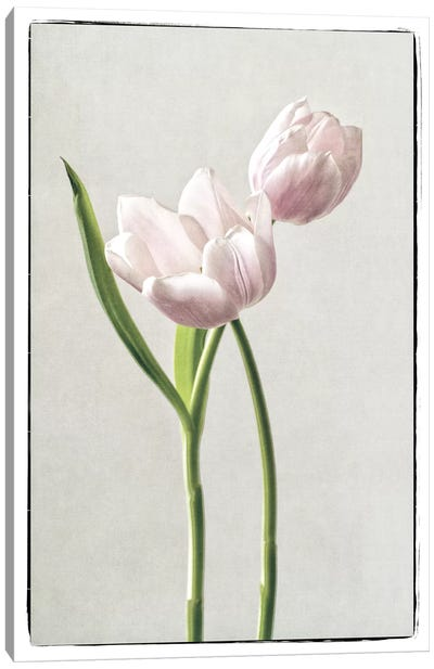 Light Tulips III Canvas Art Print