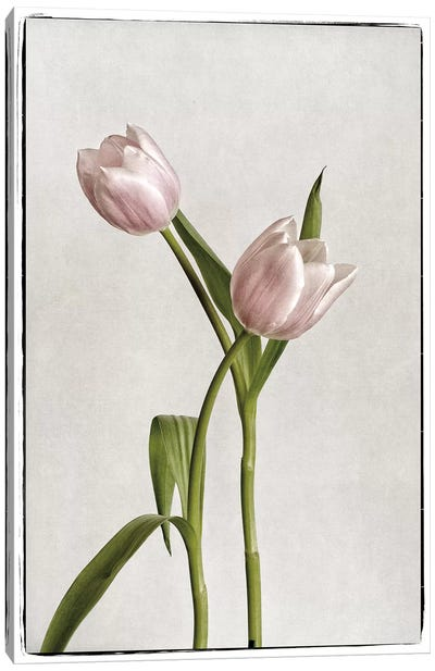 Light Tulips IV Canvas Art Print