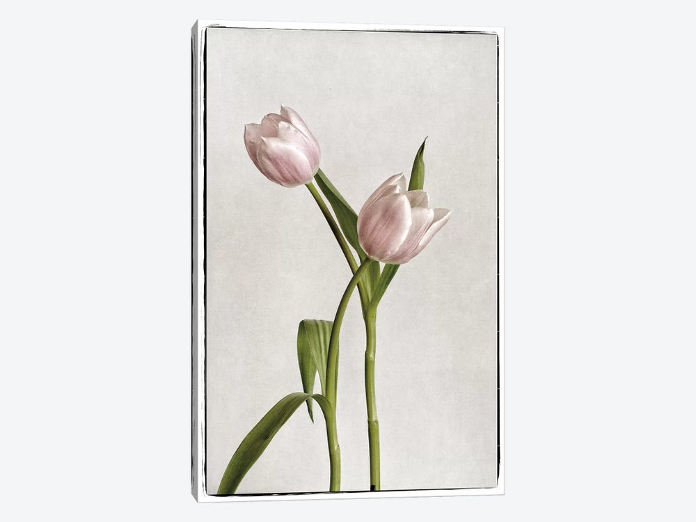 Light Tulips IV by Debra Van Swearingen 1-piece Art Print
