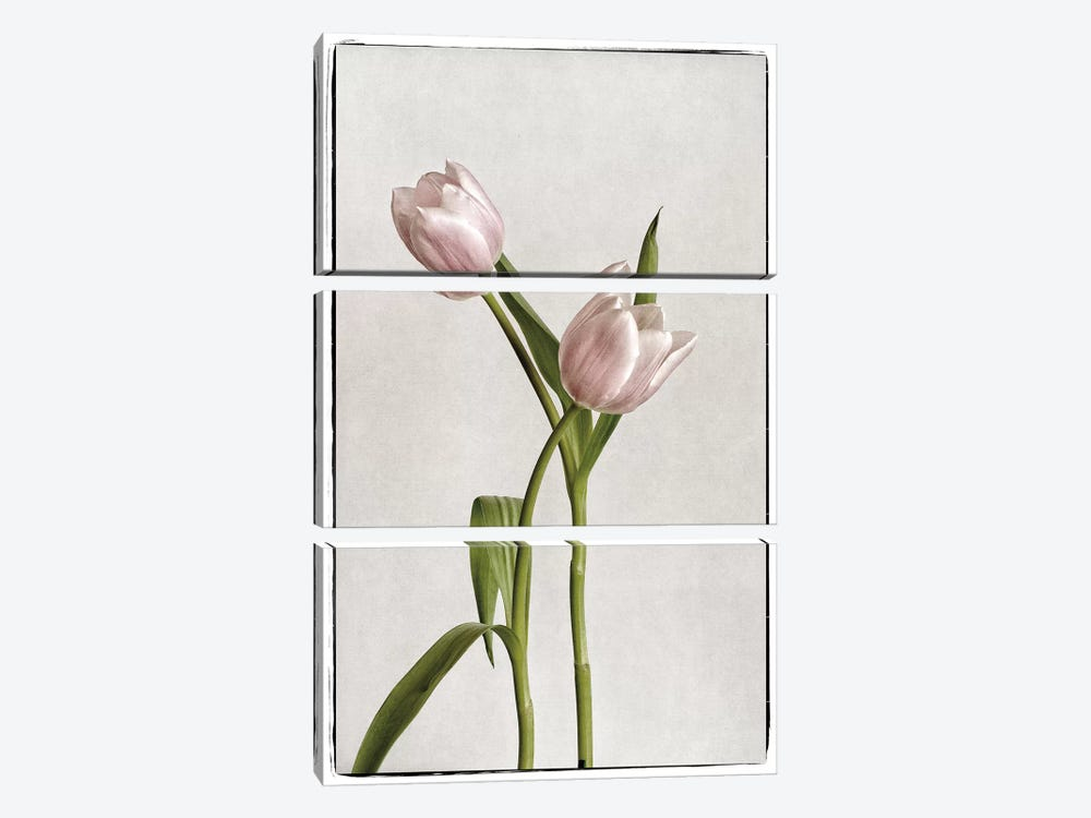 Light Tulips IV by Debra Van Swearingen 3-piece Art Print