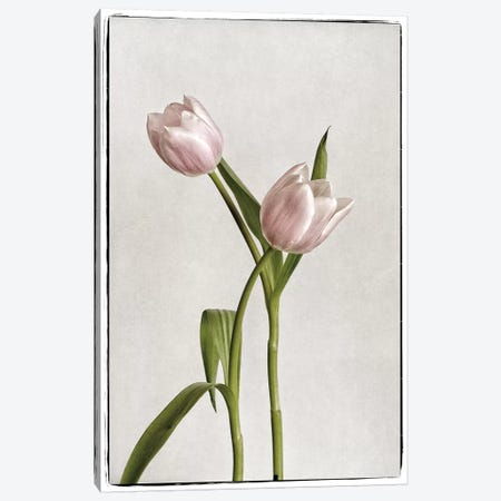 Light Tulips IV Canvas Print #WAC4417} by Debra Van Swearingen Art Print