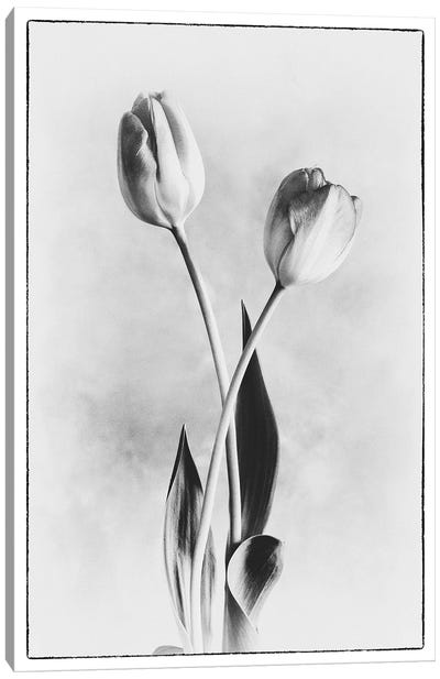 Soft Tulips IV Canvas Art Print