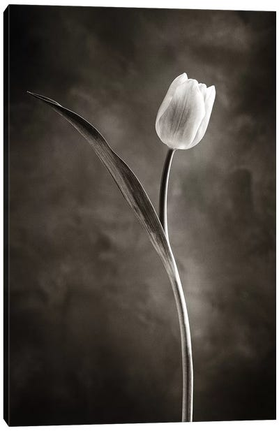Two-tone Tulips II Canvas Print #WAC4420