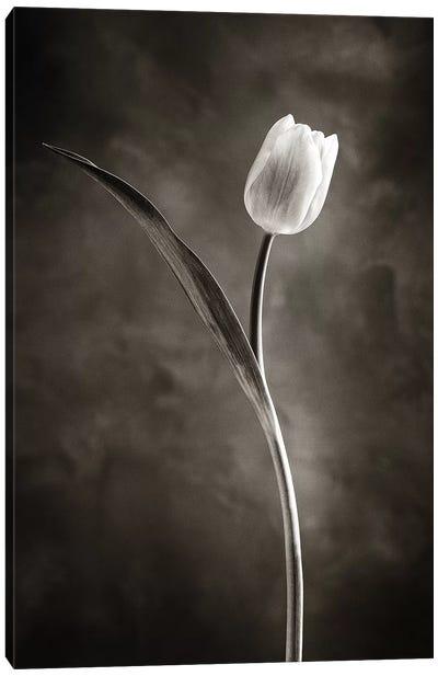 Two-tone Tulips II Canvas Art Print